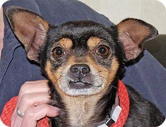 Chihuahua Mix Dog for adoption in Spokane, Washington - Konrad