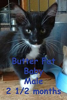 Domestic Longhair Cat for adoption in Visalia, California - Butter Fat Baby