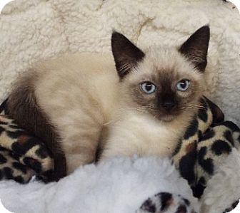 Siamese Kitten for adoption in Grants Pass, Oregon - Napoleon