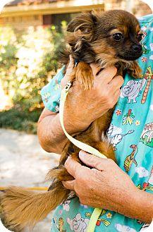 Chihuahua Mix Dog for adoption in Daleville, Alabama - Pepi