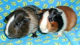 Guinea Pig for adoption in Steger, Illinois - Ajax