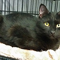 Domestic Shorthair Cat for adoption in Montgomery City, Missouri - Raven