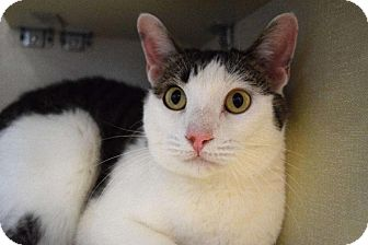 Domestic Shorthair Cat for adoption in Chicago, Illinois - Oak