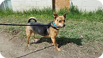 Jack Russell Terrier/Chihuahua Mix Dog for adoption in Duchess, Alberta - Homer