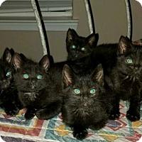 Adopt A Pet :: Kittens! - Reston, VA