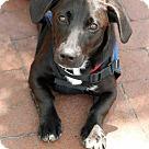 Adopt A Pet :: Becky (Has Application)