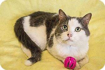 Domestic Shorthair Cat for adoption in Dearborn, Michigan - Marshmellow