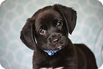Beagle/Labrador Retriever Mix Puppy for adoption in Hagerstown, Maryland - Finley