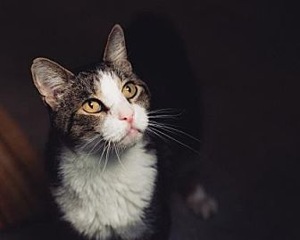 Domestic Shorthair/Domestic Shorthair Mix Cat for adoption in Palm Springs, California - Hope