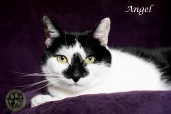 Domestic Shorthair/Domestic Shorthair Mix Cat for adoption in Pomona, New York - Angel