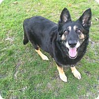 Shepherd (Unknown Type) Mix Dog for adoption in Woodbury, New Jersey - Katy