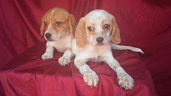 Beagle Mix Puppy for adoption in Venice, Florida - Beagle babies