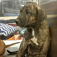 Adopt A Pet :: Big Boy - Palmdale, CA