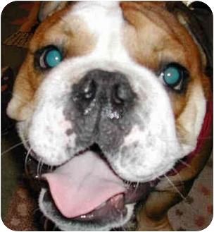 English Bulldog Dog for adoption in El Segundo, California - Louise