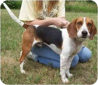 Beagle Puppy for adoption in North Judson, Indiana - Elmo