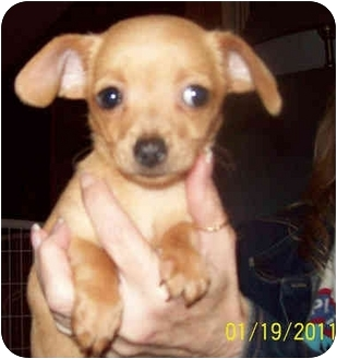 Chihuahua Mix Puppy for adoption in Southport, North Carolina - Bella