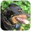 Photo 1 - Doberman Pinscher/Rottweiler Mix Dog for adoption in Arlington, Virginia - Bella
