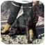 Photo 3 - Great Dane/Labrador Retriever Mix Dog for adoption in Acton, California - Lola