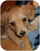 Poodle (Miniature)/Chihuahua Mix Puppy for adoption in Foster, Rhode Island - George