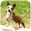 Photo 2 - Boston Terrier/Chihuahua Mix Dog for adoption in New Fairfield, Connecticut - Biscuit
