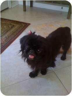 Pekingese Dog for adoption in Orlando, Florida - Suzie