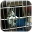 Photo 1 - Maine Coon Kitten for adoption in Pittstown, New Jersey - Bam-Bam