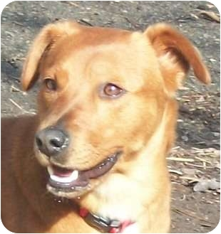 Cattle Dog Mix Dog for adoption in Spring Valley, New York - Robin