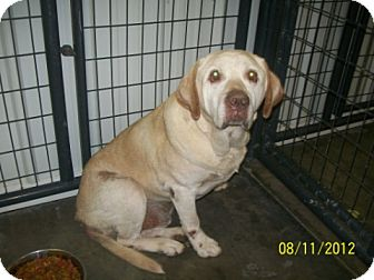 Labrador Retriever Mix Dog for adoption in Wilmington, Delaware - Jake