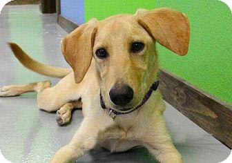 Labrador Retriever/Golden Retriever Mix Puppy for adoption in Austin, Texas - Gigi