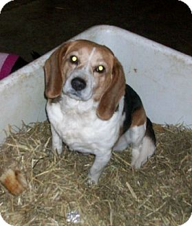 Beagle Dog for adoption in Liberty Center, Ohio - Tommy Lee