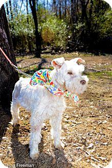 Schnauzer (Standard) Mix Dog for adoption in Muldrow, Oklahoma - Teddy B