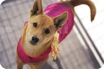 Shiba Inu Mix Dog for adoption in Corpus Christi, Texas - Posh