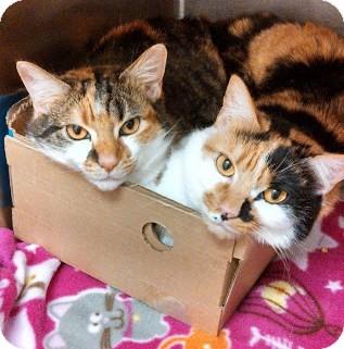 Calico Cat for adoption in Bellingham, Washington - Tanya