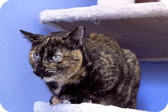 Domestic Shorthair Cat for adoption in Chicago, Illinois - Anumati