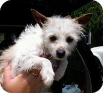 Maltese/Yorkie, Yorkshire Terrier Mix Dog for adoption in St. Petersburg, Florida - Mercury