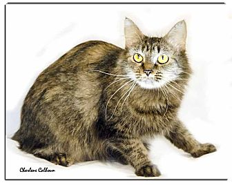 Maine Coon Cat for adoption in Newland, North Carolina - Leslie