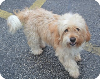 Cockapoo Mix Dog for adoption in Norwalk, Connecticut - Opie