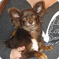 Adopt A Pet :: Sinbad - Salem, NH