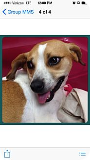 Beagle Mix Dog for adoption in Rochester, New Hampshire - COOKIE