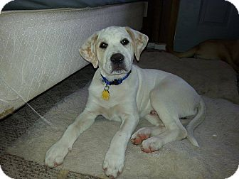 Labrador Retriever Mix Puppy for adoption in Quincy, Indiana - Max