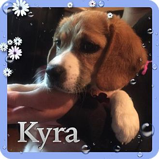 Beagle Mix Puppy for adoption in Kenmore, New York - Kyra