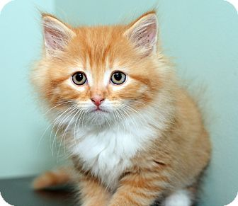 Domestic Longhair Kitten for adoption in Royal Oak, Michigan - FREDDIE
