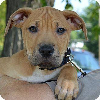 German Shepherd Dog Mix Puppy for adoption in Columbia, Illinois - McCoy
