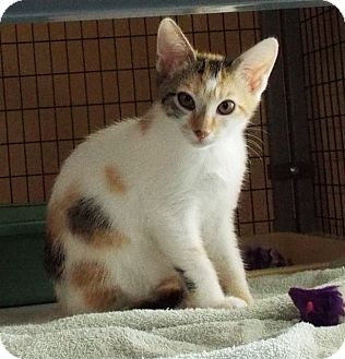 Domestic Shorthair Kitten for adoption in Grants Pass, Oregon - Rocky Road