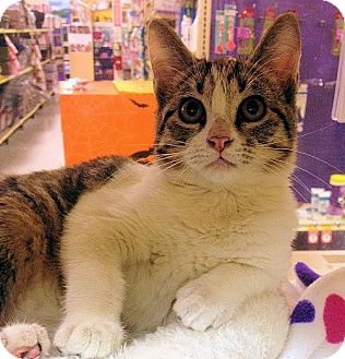 Domestic Shorthair Cat for adoption in Weatherford, Texas - Prissy