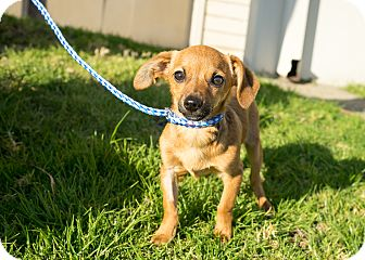 Chihuahua Mix Puppy for adoption in Montclair, California - Christopher