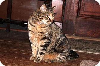 Domestic Shorthair Cat for adoption in Harrisonburg, Virginia - Squeaky