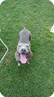 Pit Bull Terrier Dog for adoption in Monroe, North Carolina - Kayden