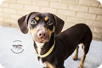 Dachshund Mix Dog for adoption in Charlotte, North Carolina - Nicki Minaj