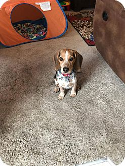 Beagle Mix Puppy for adoption in Forest Hill, Maryland - Harley